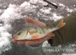 Щука и окунь на пруду со льда