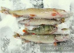 Астраханская щука и окунь. Ловля зимой