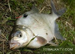 Лещ и подлещик, рыбалка в Подмосковье