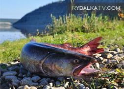 Рыбалка на тайменя в Сибири