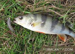 Окуневая рыбалка. Ультралайт