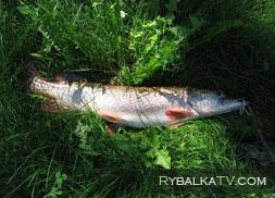 Рыбалка на реке Кривуша. Спиннинг