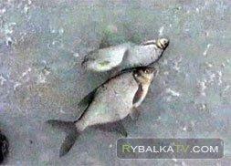 Зимняя ловля леща в Тверской области