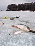 Плотва по последнему льду