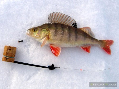 Ловля окуня зимой на озерах Карелии. Часть 1