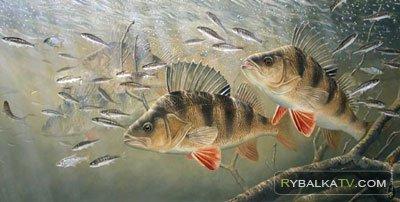 Рыбинское водохранилище. Ловля окуня