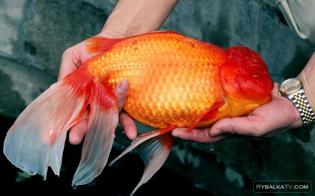 Простые радости. На рыбалку за золотой рыбкой