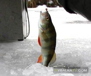 Зимняя рыбалка на Рыбинке. Большой окунь