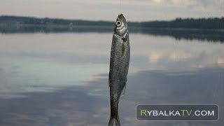 Мелкая рыба. Озеро Липецкое