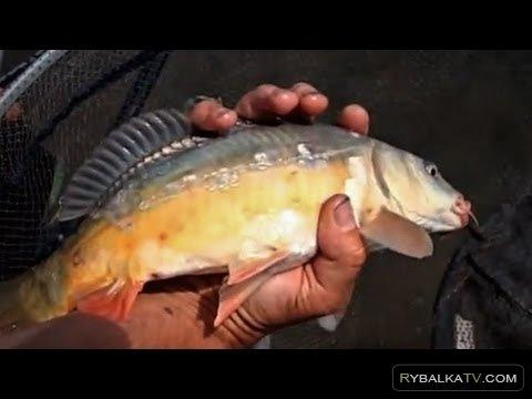 Ловля белой рыбы пикером