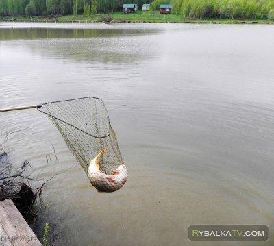 Рыбацкие реалии 128. Деревенский пруд. Фидер