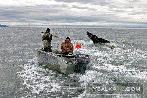 Охота на серых китов. Своими глазами